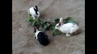 Bunnies eating leaves and playing