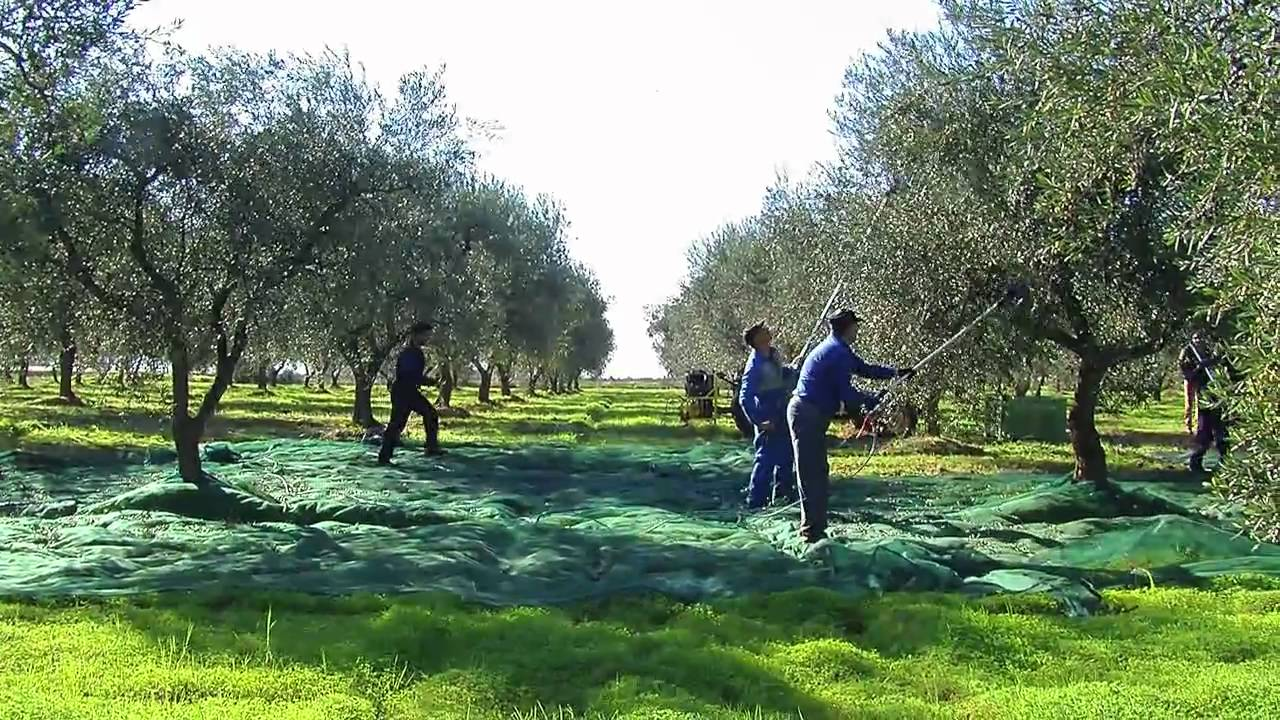 raccolta olive agroveneta