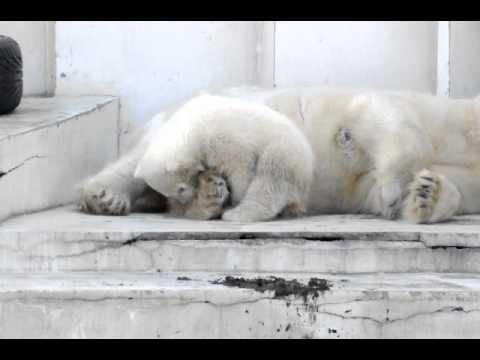 2011年4月11日 円山動物園 赤ちゃんは遊びたい、ママは眠い
