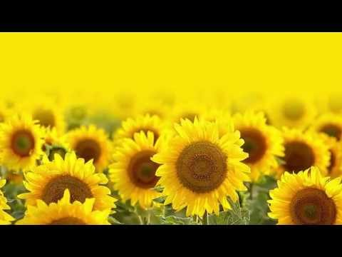 Non-GMO Sunflower Oil – The best choice for food manufacturers