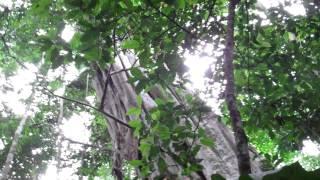 Tallest Tree in The Amazon