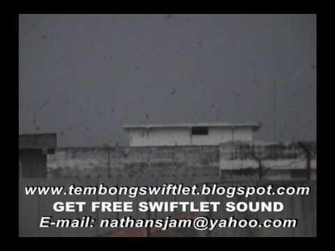 Natural Swiftlet Sound Palembang video