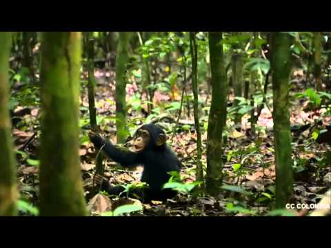 Nueva pelicula Disney. Chimpancé 2012. Official video