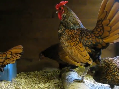 GOLD SEBRIGHT BANTAMS FROM CHESHIRE POULTRY