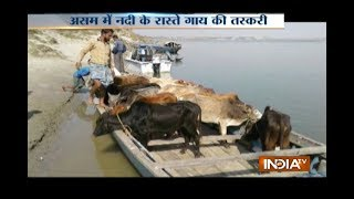 Cattle smuggling tie with banana tree trunk at Bangladesh Border on the Brahmaputra river