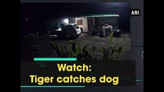 Watch: Tiger catches dog - Maharashtra News