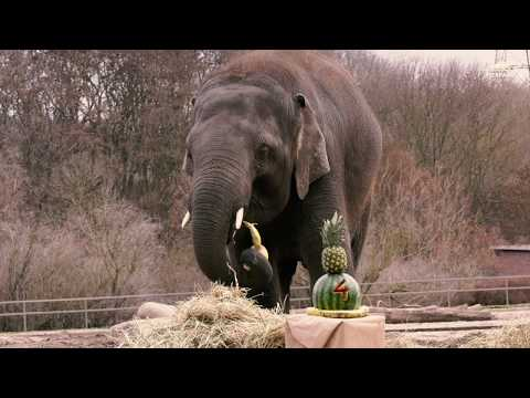 Elefant Edgar feiert 4. Geburtstag im Tierpark Berlin - Asian elephant celebrates his 4th birthday