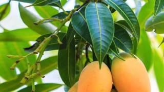 Increíbles Beneficios De La Hoja De Mango Revelados Por Un Médico Japonés
