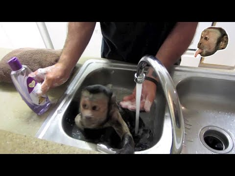Capuchin Monkey Bath