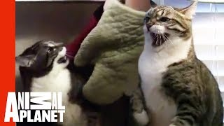 Mean Cat Is Tearing This Couple Apart | My Cat From Hell