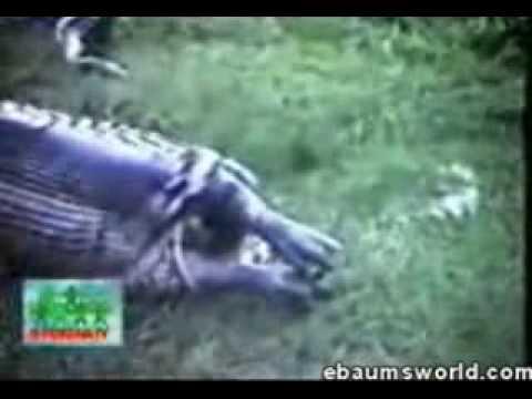 Giant snake eating hippo - photo#23