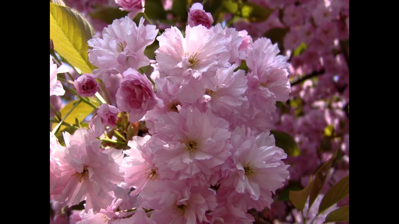 Flower Duet Lakme