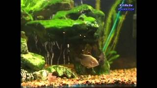 CICHLID selection when beggining