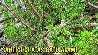 Pohon Santigi Di Atas Batu Alami | Jenis Tanaman Bonsai Pemphis Acidula