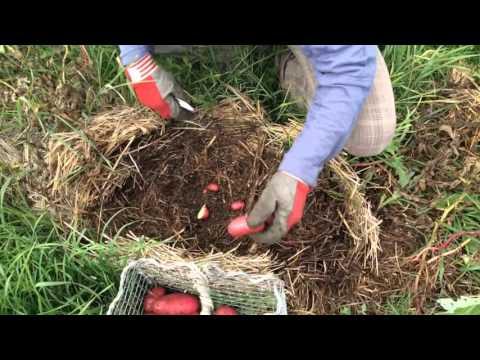Выращивание картофеля на соломе отзывы 67