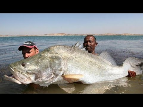 Monster nile perch 114 lb in lake nasser egypt hd by for Lake of egypt fishing report
