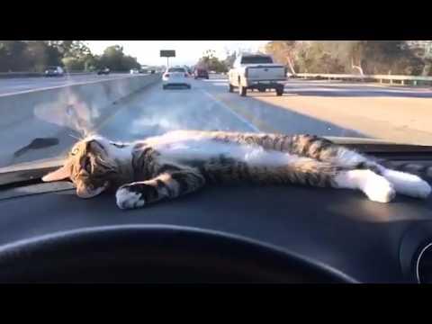 車のダッシュボードの上がお気に入りの猫