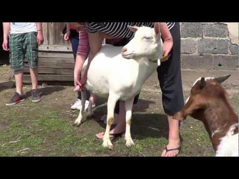 Witoldzin 2012 05 12 Goście z Niemiec cz3 dojenie kozy