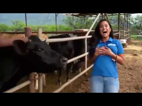 A cow licks the breast of a reporter thumbnail