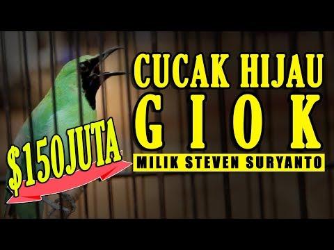 PIALA MENKUMHAM : Cucak Hijau 150 Juta GIOK (Steven) Juara Nasional Gagal Rebut Double Winner