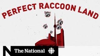Is Toronto the raccoon capital of Canada?