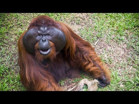 Orangutans and the Matang Wildlife Centre
