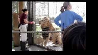 Feeding Young Lion at Zoo