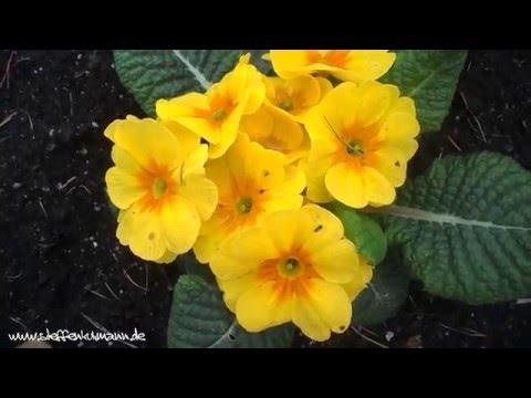 Die Primel - Eine Unterschätzte Staude Im Blumenkasten