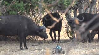 rc camera buggy vs cape buffalos. chobe np. 8/31/2017