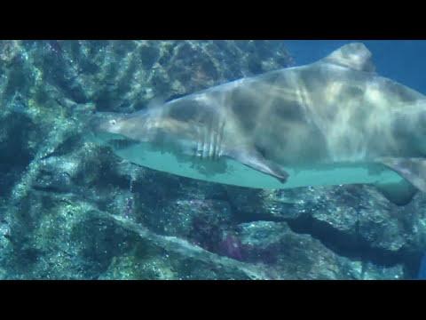 Aquarium Dive With Sand Tiger Sharks at Sea World Bangkok