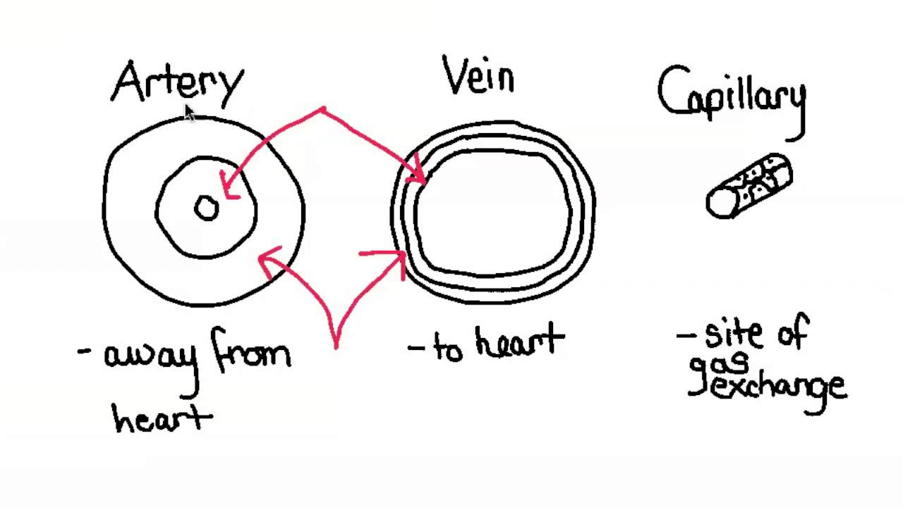 Veins Arteries Capillaries Veins And Capillaries