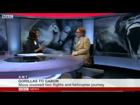 BBC News   Flying a family of gorillas to Gabon to go wild