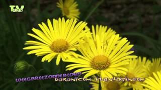 Doronicum plantagineum - Plantain-leaved Leopard's Bane - WeegbreeZonnebloem