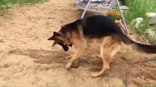 Best Funniest & Cutest German Shepherd Video #1 - Funny Dogs 2018