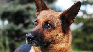Amazing facts on German Shepherd | In Hindi | Dog Facts | Animal Channel Hindi