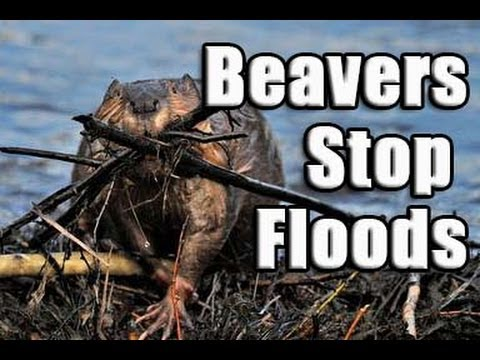 Beaver Help Privent Flooding