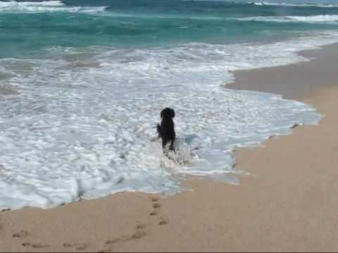 Crazy Dog Runs on North Shore - Oahu - Hawaii near Turtle Bay Resort Video