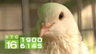 Chim bồ câu bị viêm mắt, chớ coi thường | VTC16