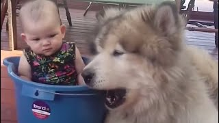 Cute Alaskan Malamute Protecting and Playing With Babies