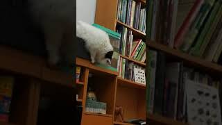 Cat Pico wants the Goldfish 23.03.2018