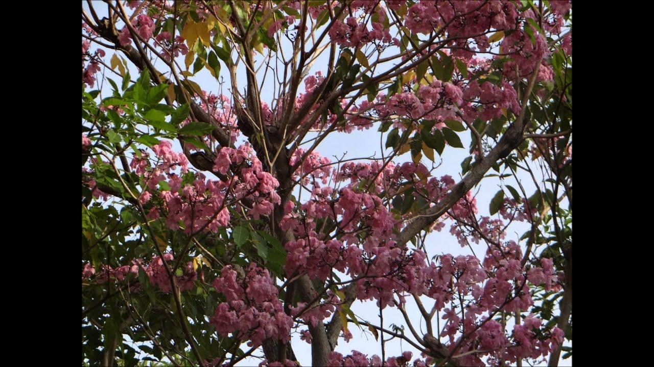 Pink White Trumpet Flowers