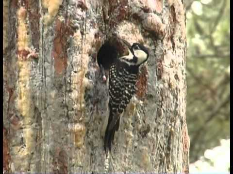 Long Leaf Pine and Red-cockaded Woodpecker Management