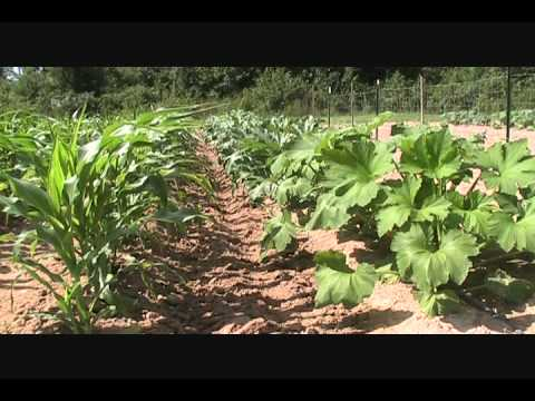 Fast Growing Squash - It's Time To Eat !