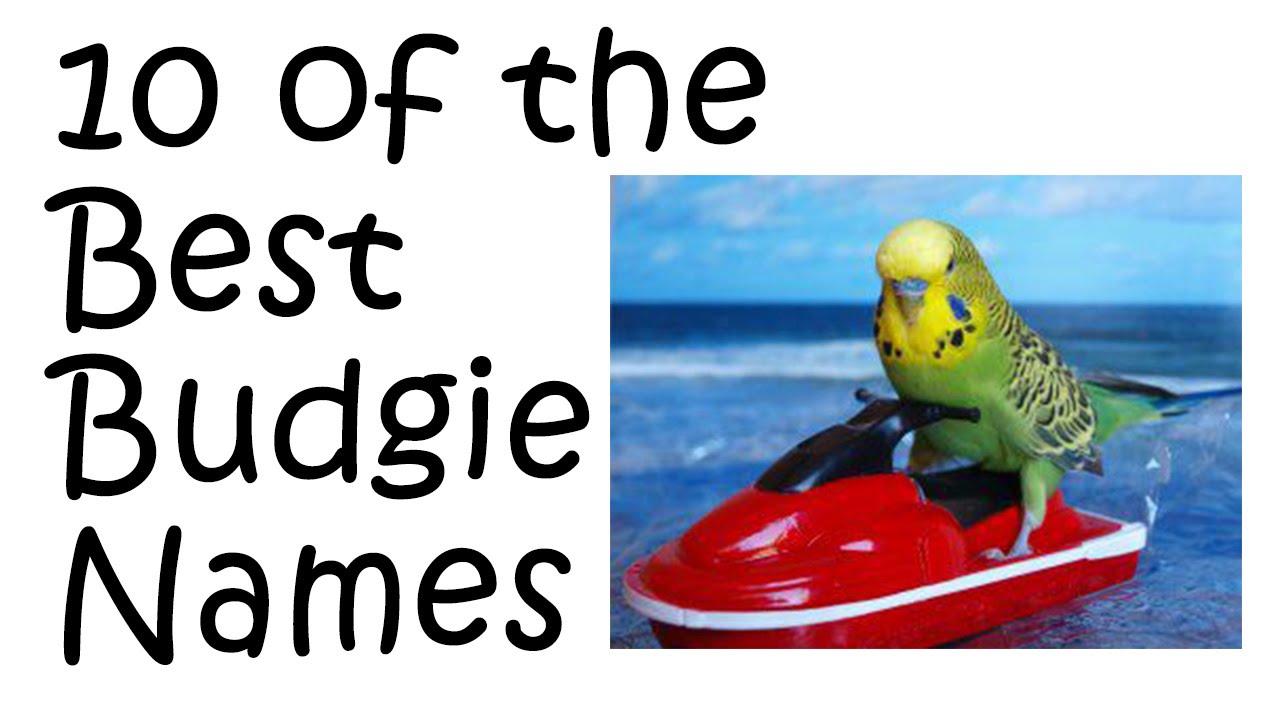 Blue Budgie Parakeet 10 of The Best Budgie/parakeet