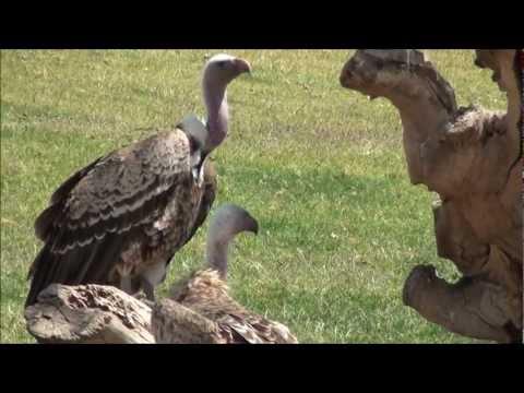 Vultures - scavenging birds in 1080p HD