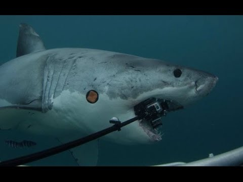 Great White Shark attacks 6 GoPro Hero3 Cameras - $5000 Reward