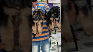 GSD puppies Male female 10000 contact 8618472313