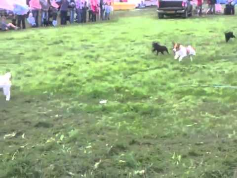 Terrier racing at Torver