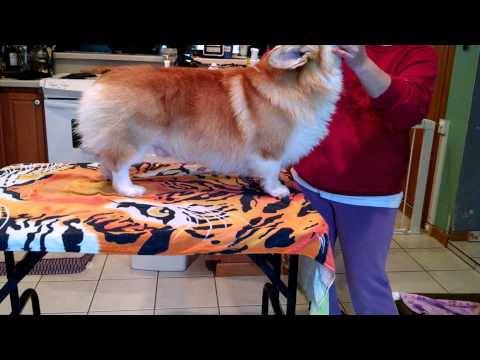 Corgi Grooming..weekly management. for show!