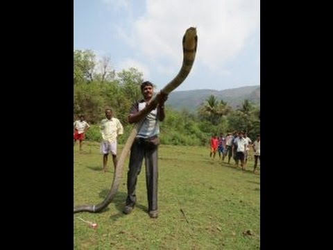 15-FEET LONG KING COBRA CAPTURED IN INDIA